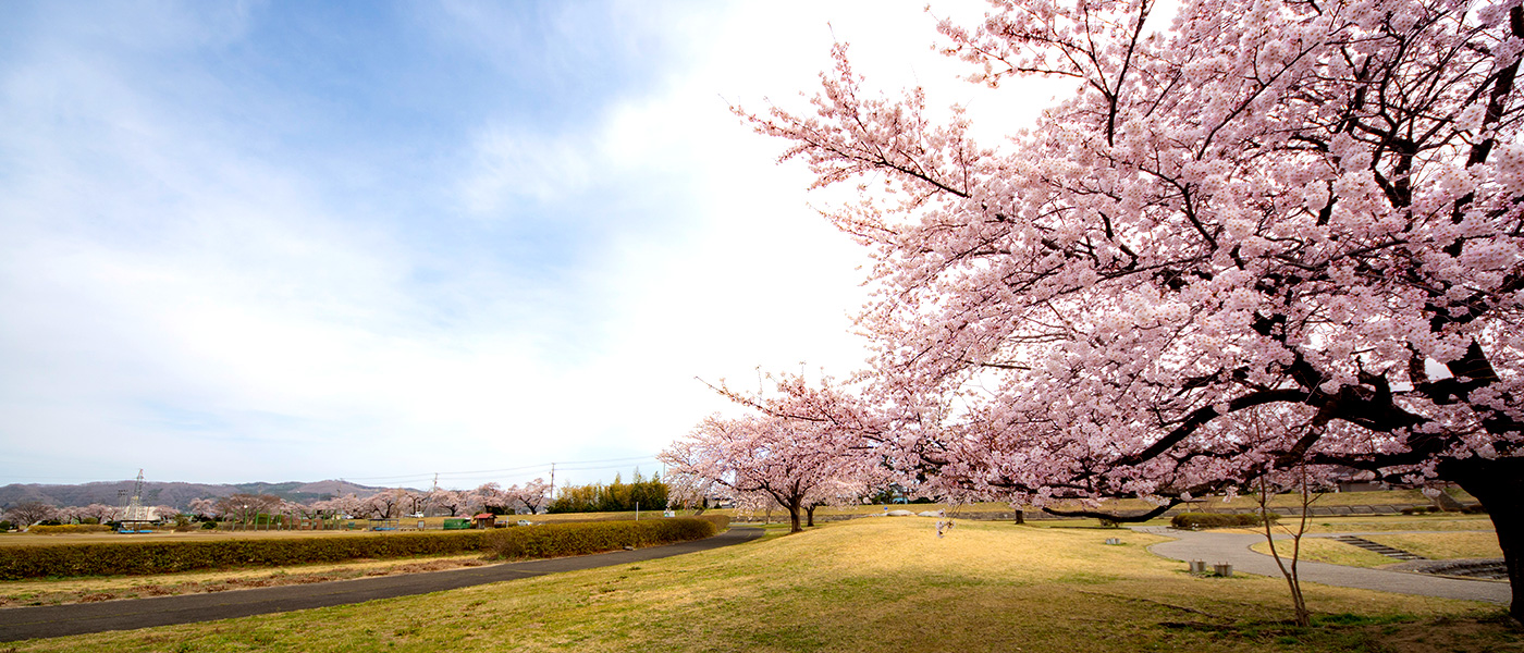 The cherry-blossom pink that colors the history, water, and nature of Shiroishi