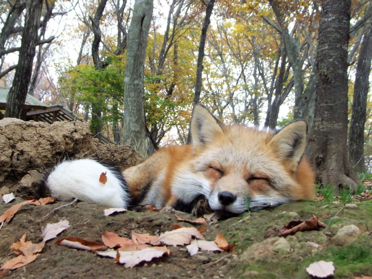 """Cuddle their fluffy foxes! A rare zoo with more than 100 foxes where you can see and cuddle them. """"Miyagi Zao Fox Village"""""""
